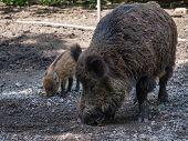 picture of wild hog  - Close - JPG