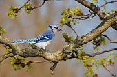 stock photo of blue jay  - Close-up image of a blue jay sitting on a tree in blossom