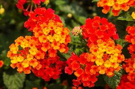 image of lantana  - Beautiful Colorful Hedge Flower Weeping Lantana Lantana camara Linn in the garden  - JPG