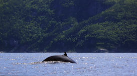 stock photo of cetacea  - A Minke Whale in the Saguenay River near Tadoussac - JPG