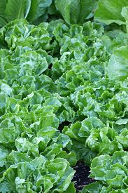 picture of endive  - Home grown Broad - JPG