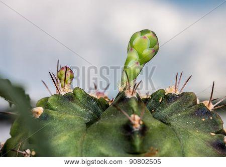 Budding Gymnocalycium Cactus Flower