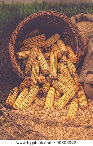 Harvested Corn In Basket