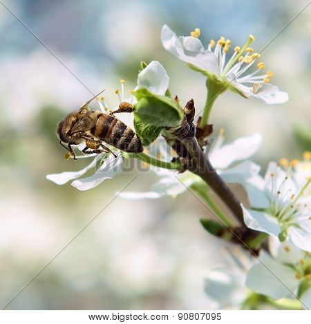 Bee Pollinates A Flower Cherry Closeup