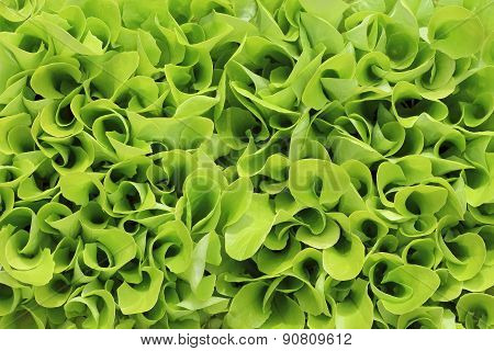 young lettuce
