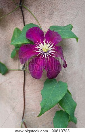 Dark red purple clematis flower