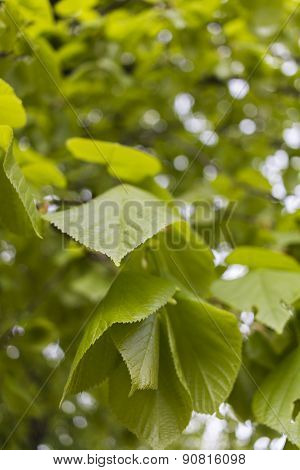 Green Linden Leaves In Spring