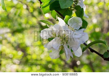 Apple Blossoms Over Blurred Nature Background