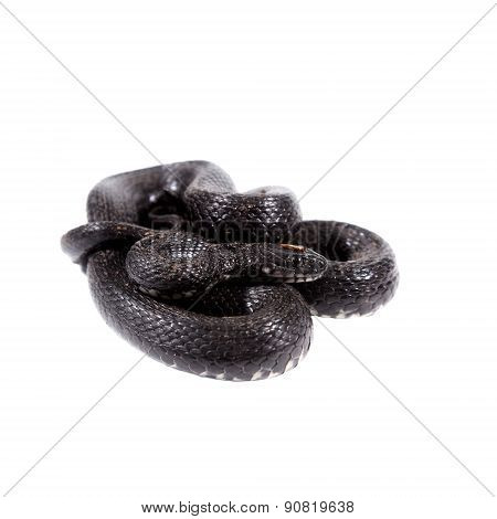 Dice snake, Natrix tessellata, on white