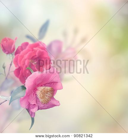 Pink And Red Roses Blossom