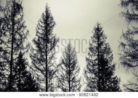 Spruce Trees, Black Silhouettes Over Cloudy Sky