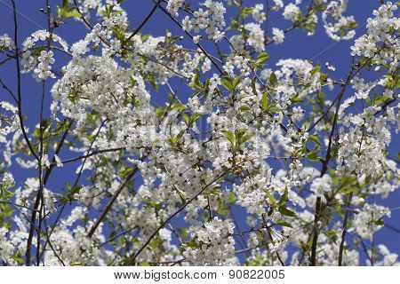 Cherry On A Background Of Blue Sky