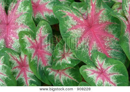 Pink Veins...