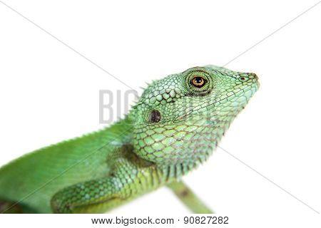 Black lipped Lizard, Calotes nigrilabris, on white