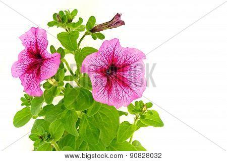 Beautiful flowers of petunia
