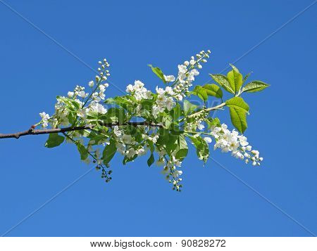 flowers of bird-cherry