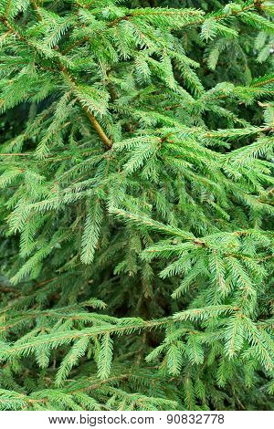 Fir Tree Forest Background Texture