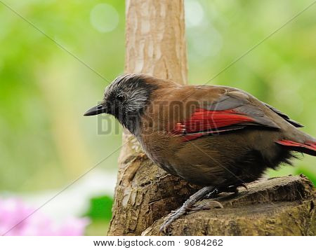Red-winged Laughingthrush