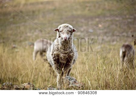 Mountain lamb