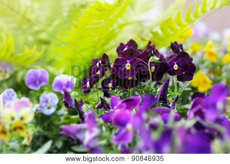 Flowerbed Of Viola Tricolor Or Kiss-me-quick (heart-ease Flowers) In Summer
