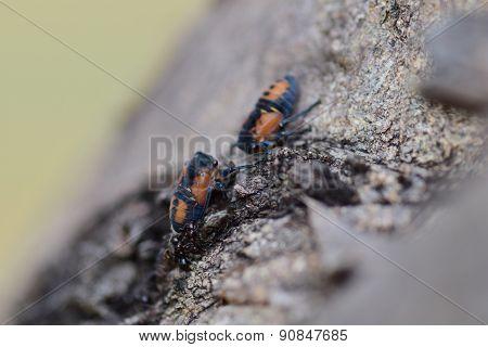 Cicadoidea Nymph