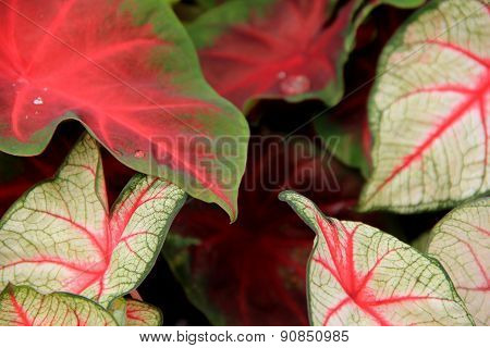 Bright and colorful Coleus leaves