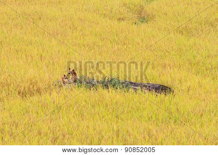 Paddy Green And Gold Rice Fields With A Dog