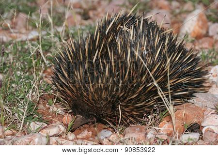 Wild Echidna on Red Sand