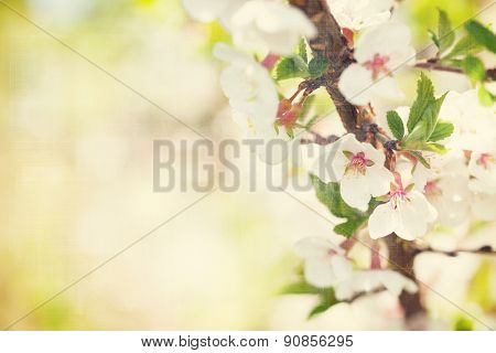 Sakura, cherry blossom sunny spring background with copy space. Vintage textured