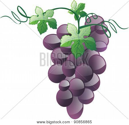 Grapes - Illustration