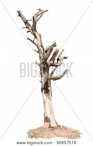 Withered Tree Isolate On White Background