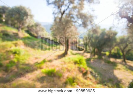 Defocused Background Of Olive Grove
