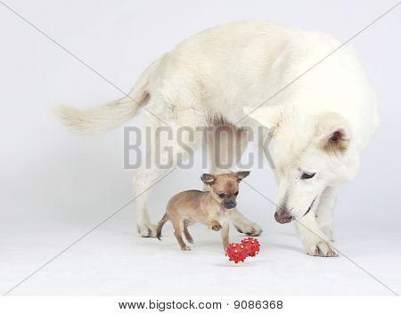 Chihuahua Puppy and white German Shepherd