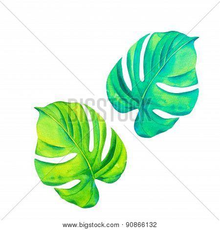 monestera leaves in watercolor