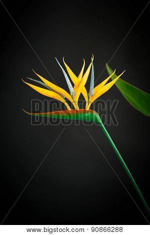 Beautiful Yellow Flower Strelitzia