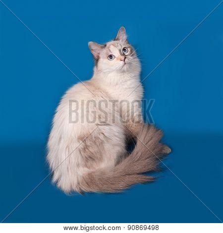 Siberian Cat Seal Point Sitting On Blue