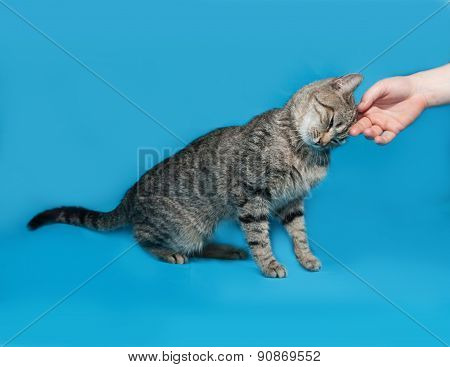 Gray Striped Cat Fondled Hand On Blue