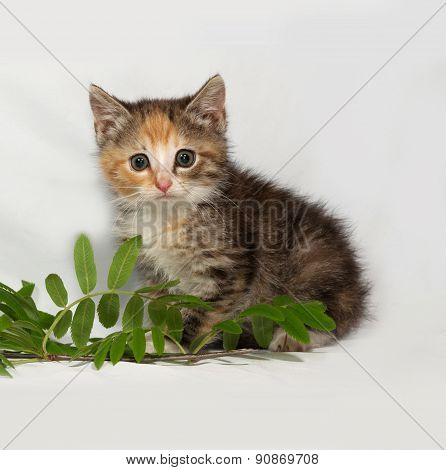 Tricolor Fluffy Kitten Sits On Gray