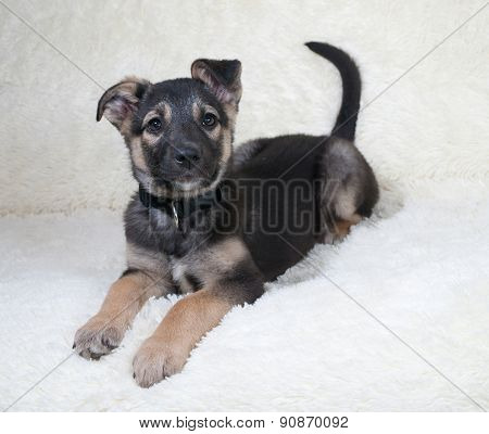 Small Black And Yellow Puppy Lies On White Sofa