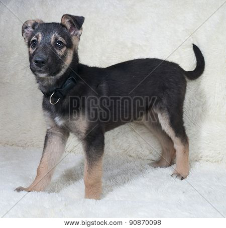 Small Black And Yellow Puppy Standing On White Sofa
