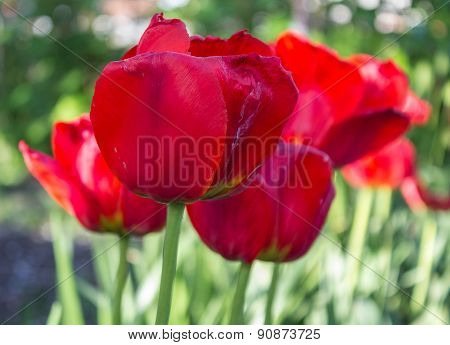 Ripe Tulips Close-up