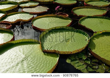 Green Leaf Of Lotus Flower