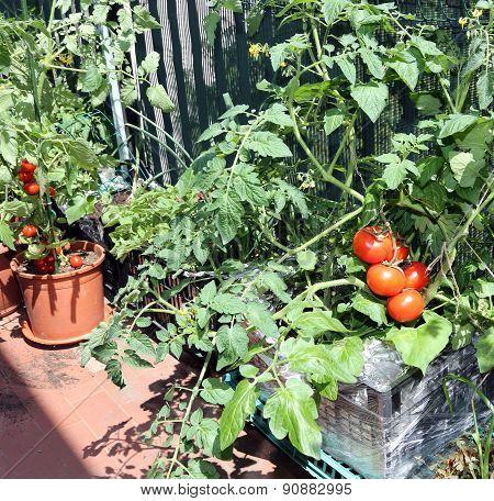 Plastic Box In Terrace With Tomato Plant