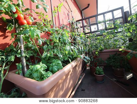 Vegetable Garden With Huge Pots On The Terrace