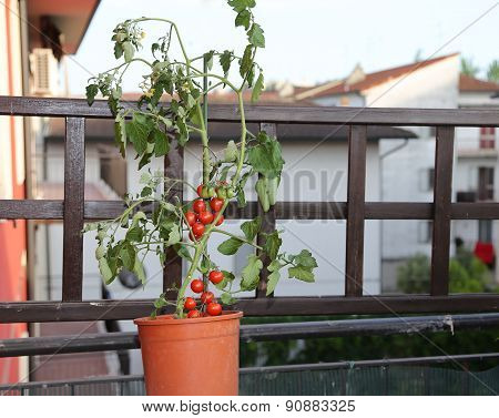 Tomato Plant On The Terrace Of A House In The City