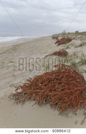 Christmas Trees Recycled To Shore Up Beach Dunes
