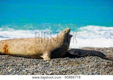 Elephant Seal, Valdes