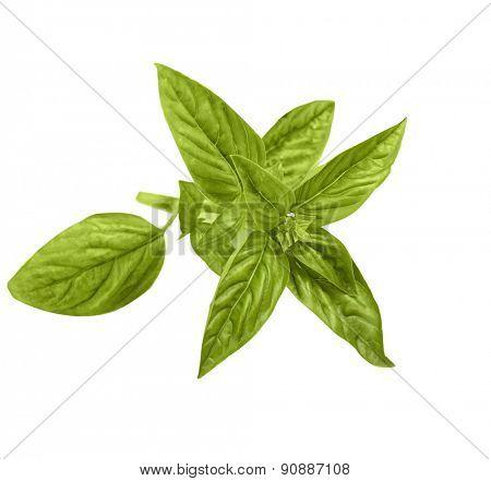 green basil isolate on white