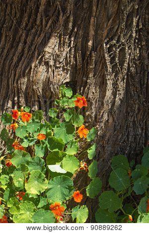 Tropaeolum Majus, Garden Nasturtium