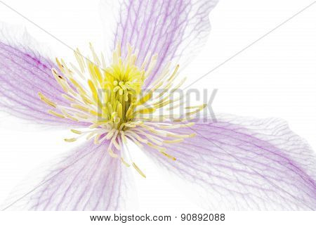 Clematis flower closeup on white background